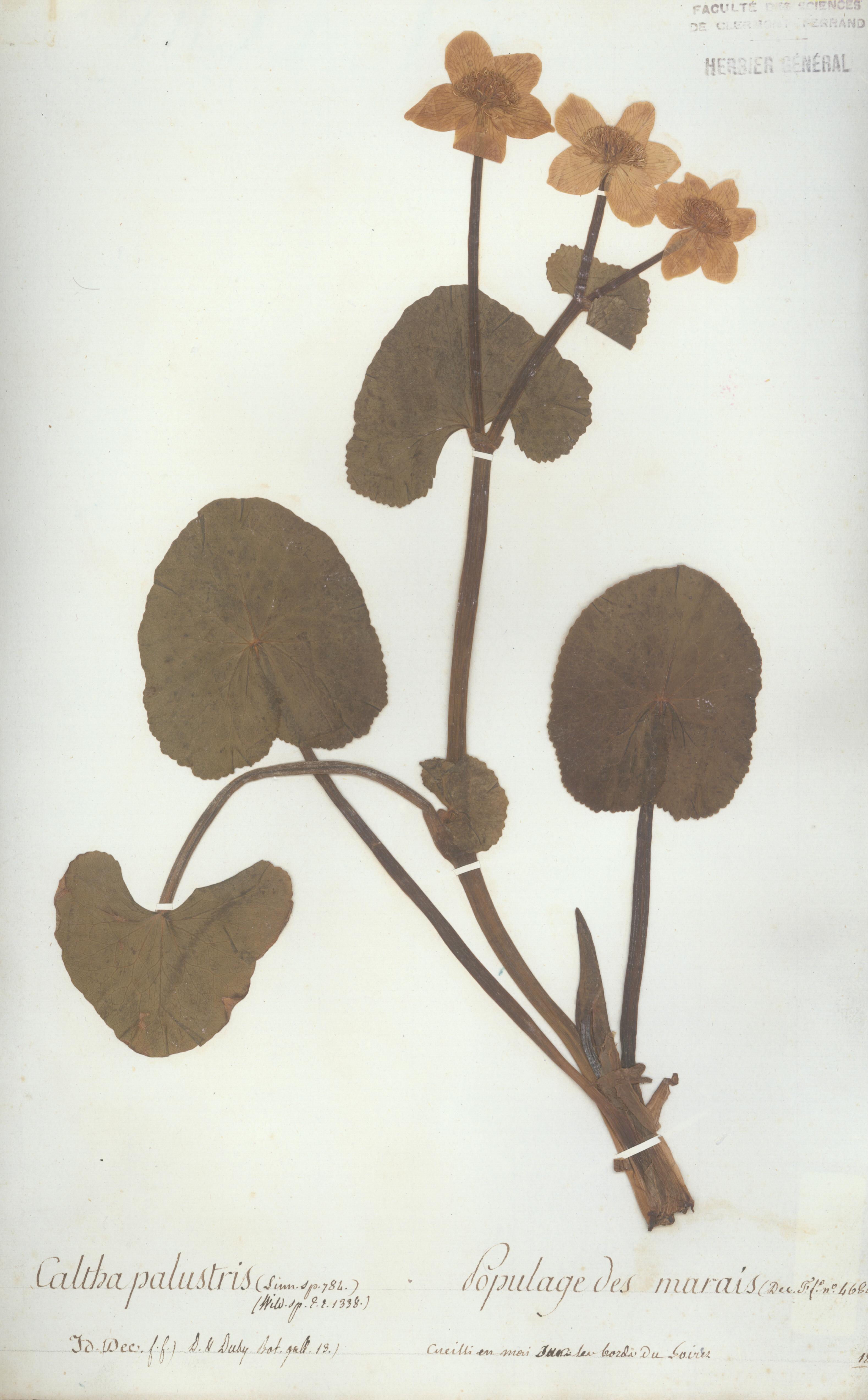 Caltha palustris - Auguste de Saint-Hilaire