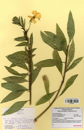 Oenothera ligerica Deschâtres & R.Jean